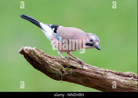 A Eurasian Jay (Garrulus glandarius) searching for food in British woodland - Stock Image