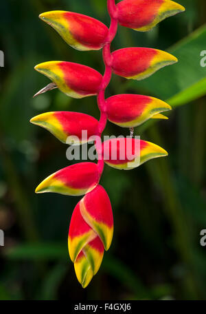 Heliconia rostrata, Hanging Lobster Claw - Stock Image