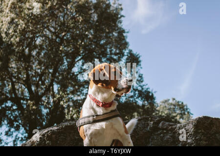 beagle, pet, country, animal, dog, head, nature, hound, breed, outdoor - Stock Image