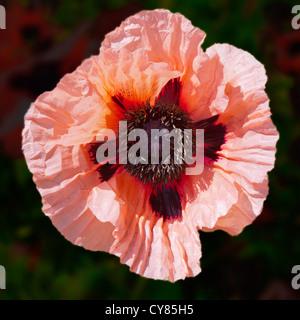 Big pink poppy, Papaver orientale - Stock Image