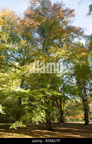 Chinese beech tree, Fagus Engleriana, National arboretum, Westonbirt arboretum, Gloucestershire, England, UK - Stock Image