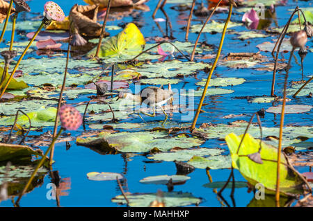 Comb crested jacana or lillytrotter, Queensland, Australia - Stock Image