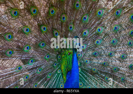 A close-up view of a Peacock. - Stock Image