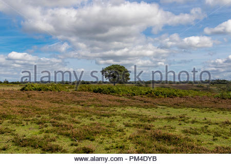 A lone pine stands in the middle of an expanse of heather and ferns in the New Forest, Hampshire, UK - Stock Image