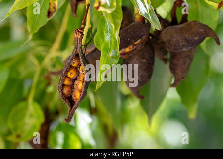 Seed pods from the Kurrajong or Bottle tree (Brachychiton populneus) - Stock Image