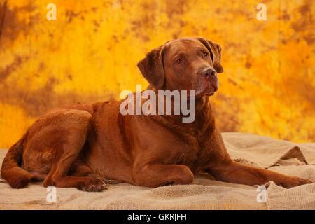 Chesapeake Bay Retriever, male dog, 6 years|Chesapeake Bay Retriever, Ruede, 6 Jahre - Stock Image