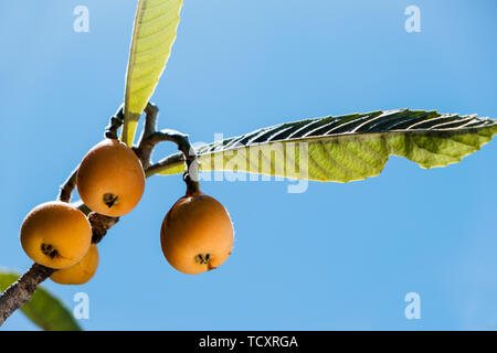 closeup of some ripe loquats hanging from a branch of a loquat tree, against the blue sky - Stock Image