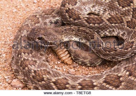 Mohave Rattlesnake, Mojave Rattlesnake, Crotalus scutulatus, in Arizona USA - Stock Image