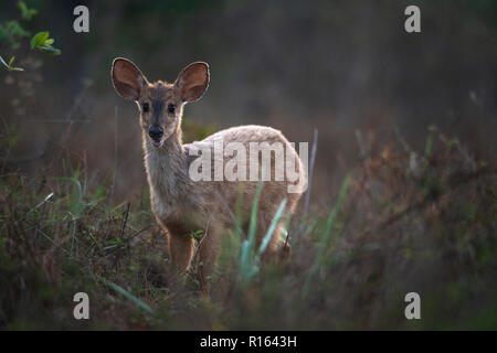 A Gray Brocket Deer from North Pantanal, Brazil - Stock Image