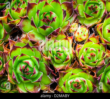 bed of Chick and Hen plants - Stock Image