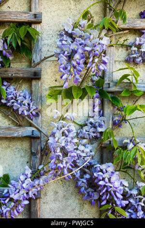 Blooming Wisteria climber on trellis - Stock Image