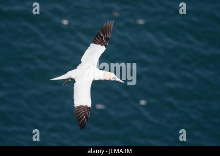 Adult Northern gannet, Morus bassanus, flying near Bempton Cliffs, Yorkshire, England, United Kingdom - Stock Image