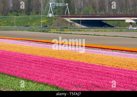 Spring landscape with blossoming tulip fields, mills and highway, Dutch lifestyle - Stock Image