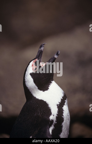 crying Jackass penguin in South Africa - Stock Image