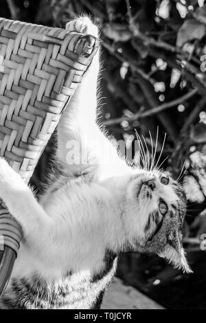Tabby cat lost footing from a chair and holding on with a claw - Stock Image