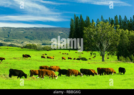 Free range cattle graze on green grass in upcountry Maui, Hawaii. - Stock Image