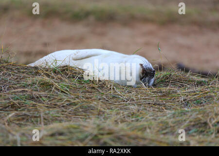 Grey seal pups at Donna Nook nature reserve, Lincolnshire, England - Stock Image