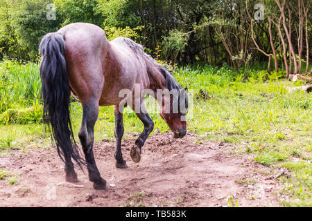 Candid animal portrait of wild brown pony pawing dusty ground prior to rolling. Taken in Dorset, England. - Stock Image