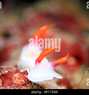 Close-up of a Hypselodoris Bullockii Nudibranch. Padang Bai, Bali - Stock Image
