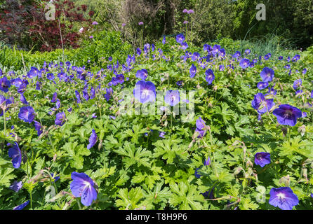 Purple Geranium, probably Meadow Cranesbill (Geranium pratense, Meadow cranesbill, Common cranesbill) flowers in Spring in West Sussex, UK. - Stock Image