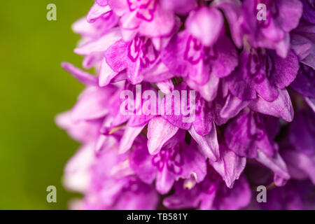 Creative macro photograph of Marsh Orchid fllower only focused on a couple of individual flowers. - Stock Image