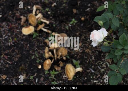 Mushrooms growing next to rose bush at the Owen Rose Garden in Eugene, Oregon, USA. - Stock Image