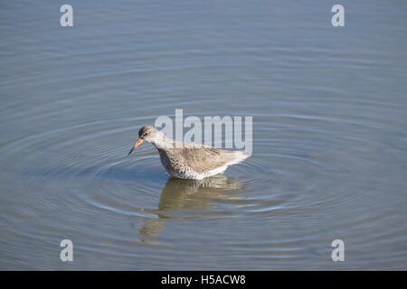 Bird wading in blue water - Stock Image