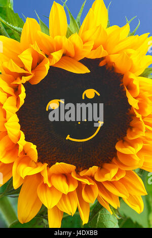 Sunflower in full bloom with a happy smiling face in front of blue sky, bright and warm colors, summer fun concept - Stock Image