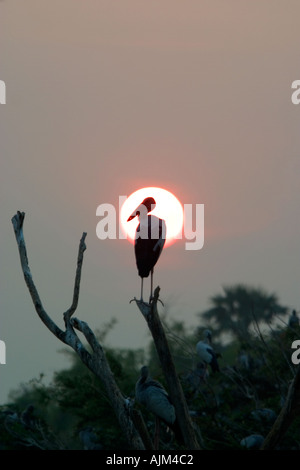 Setting sun with Indian Open billed stork Anastomus oscitans White Open billed stork against  sun in dead tree breeding - Stock Image