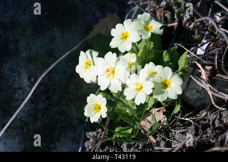 Little natural white flowers with orange centers photographed in Switzerland during sunny spring day. Lovely, pretty blooming flowers! - Stock Image