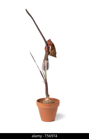 Voodoo lily flower in ceramic pot isolated on white background - Stock Image