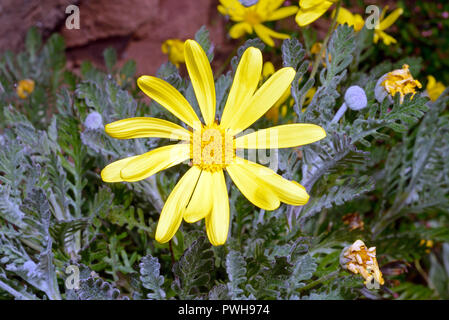 Euryops pectinatus (grey-leaved euryops) is endemic to sandstone slopes in the Western Cape (South Africa) but now widely used as a garden plant. - Stock Image
