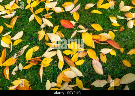 Autumn Colours close up of fallen Cherry Tree Leaves North Yorkshire UK - Stock Image