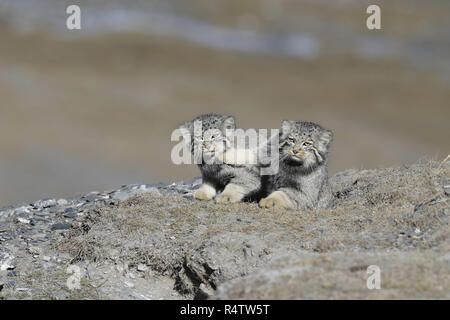 Pallas's Cat pushing it's sibling - Stock Image