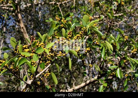 Fruiting Fig Tree, Ficus sp., Moraceae. Zombitse Vohibasia National Park, Between Ranohira and Toliara, Madagascar, - Stock Image