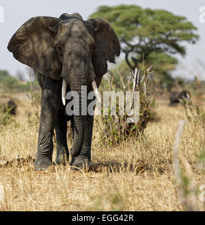 African elephant male with large tusks on the grasslands of the Tarangire National Park, Tanzania, East Africa. - Stock Image