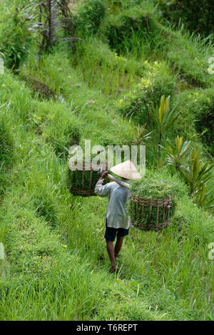 Worker carrying baskets in the Tegallalang Rice Terraces in Ubud, Bali, Indonesia - Stock Image