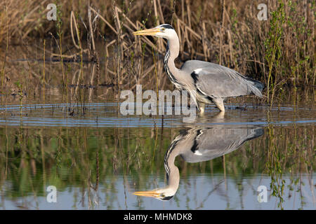 Grey Heron (Ardea cinerea) wading in still water on an early morning with perfect reflection - Stock Image