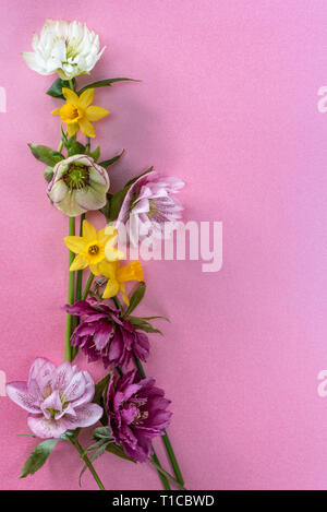 Miniature daffodil tete a tete with hellebore on a pink background, with copy space. - Stock Image