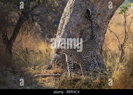 Pregnant leopard (Panthera pardus) scent marking, Khwai conservancy, Botswana - Stock Image