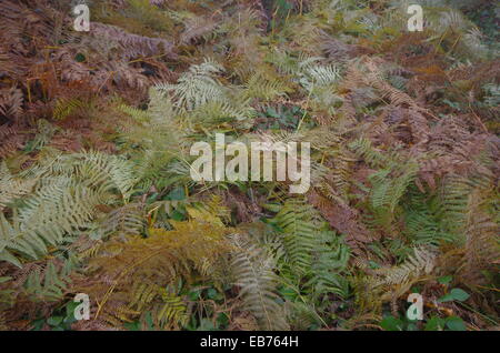 Carpet of ferns. Glade with many fern. - Stock Image