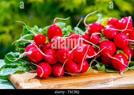 Bunches of washed fresh red radish, new harvest in sunny green garden - Stock Image