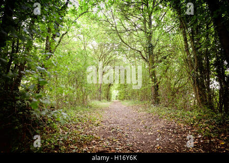 Tree lined forest path leading off into the distance used for dog walkers and nature lovers. - Stock Image