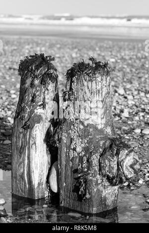 Abandoned groynes, in North Yorkshire, providing a home for seaweed and crustaceans, UK - Stock Image