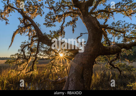 Live Oak Tree in backlighting with sun star and light coming through branches, Coastal Marsh, Vereen Gardens, Little River, South Carolina - Stock Image