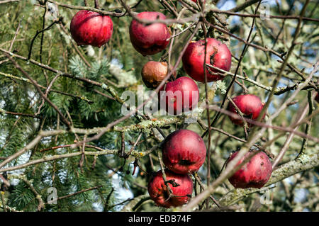 Red heirloom apples rotting on the tree after winter freeze in Corvallis, Oregon, USA. - Stock Image