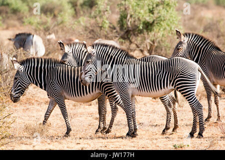 Grevy's Zebra (Equus grevyi) standing on guard towards the direction of a lioness nearby - Stock Image
