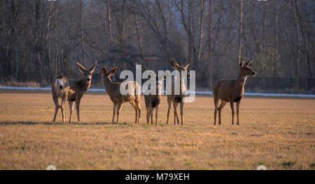 mule deer family - Stock Image