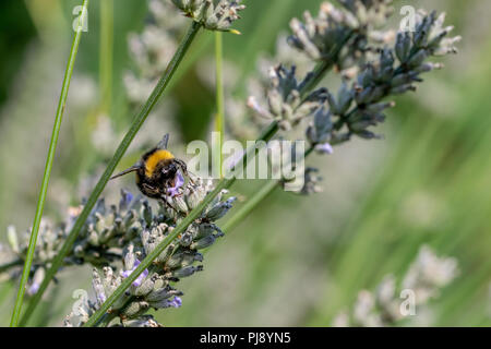 Bumblebees (bombus) collecting nectar pollen from flowering lavender plants in late summer September - Stock Image