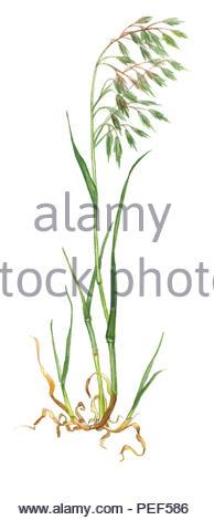 roof trespe bromus tectorum - Stock Image